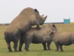Zoofilia e sexo com rinocerontes transando